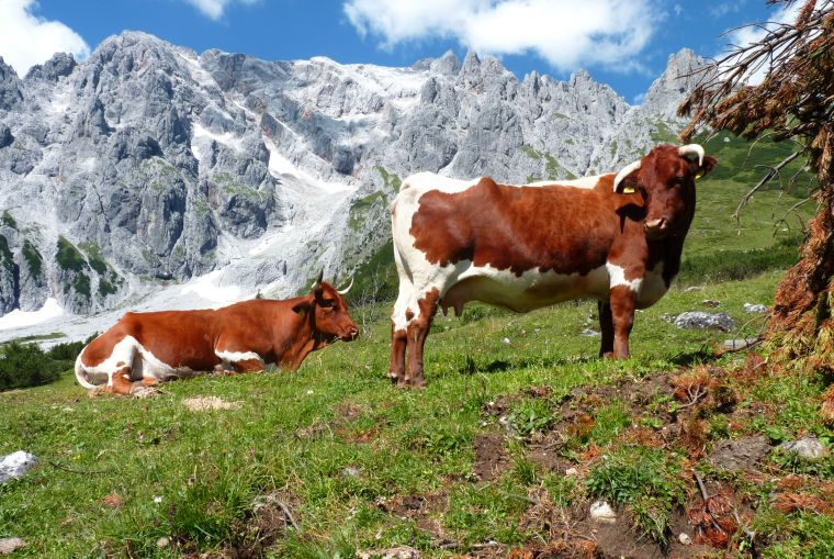 Cows on the Alp © Christian Wagner